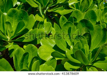The leaves of mangrove trees on a sunny day. - stock photo