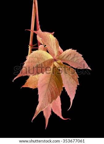the leaves of vine are isolated on a black background - stock photo