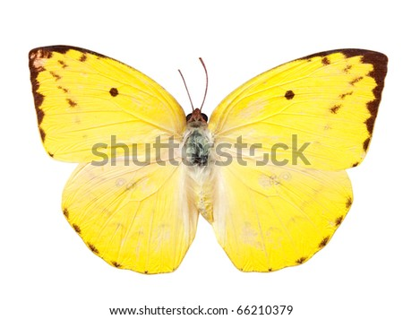 The Lemon Emigrant butterfly. Isolated over white with clipping path - stock photo