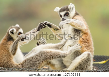 The Lemur (Lemuriformes) playing each other - stock photo
