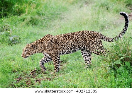 The leopard (Panthera pardus) in natural habitat - stock photo