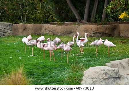 The Lesser Flamingo (Phoenicopterus minor) is a species in the flamingo  family of birds that resides in Africa - stock photo