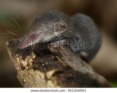 The lesser shrew is walking over the piece of wood - stock photo