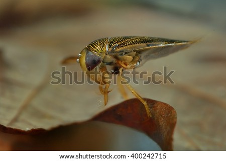The lesser water boatman (Corixa punctata) captured under water. The water-dwelling insect close up on the brown leaf. - stock photo