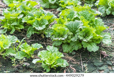 The lettuce grown on farms as organic