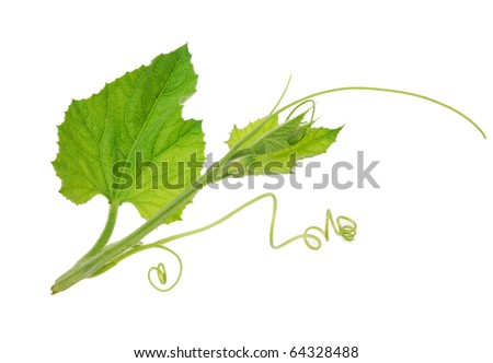 the life of pumpkin squash tree isolated white - stock photo