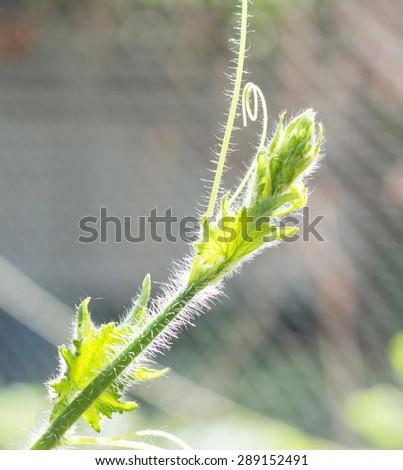 the life of pumpkin squash tree on tree - stock photo