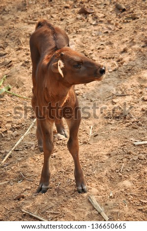 The lifespan of a gaur in captivity is up to 30 years. - stock photo