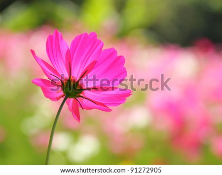 the light and a flower,sunlight afternoon shine change the petal pink fragile,make see the lined pattern of the petal clearly and beautiful - stock photo