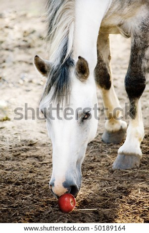 The light grey horse noses an apple - stock photo