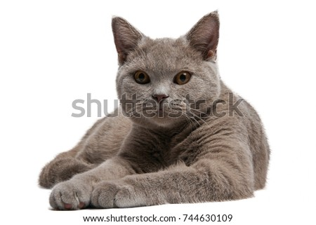 the lilac British cat short hair lies is isolated on a white background