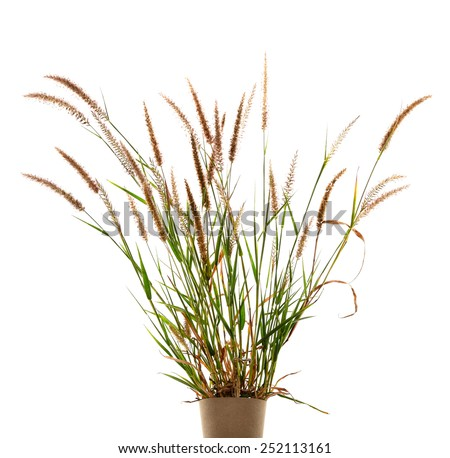 The Liliopsida, Poaceae, Weed Flowers on white ,clipping path - stock photo