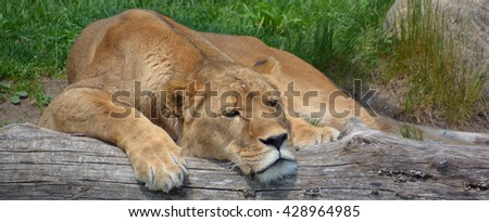 The lion is one of the four big cats in the genus Panthera, and a member of the family Felidae. With some males exceeding 250 kg (550 lb) in weight, it is the second-largest living cat after the tiger - stock photo