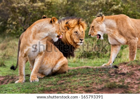 The Lion King Lipstick is greeted by his excited lionesses. In his field three Cheetahs have been seen by them in the Masai Mara, Kenya - stock photo