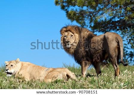 The lion King, profile image - stock photo