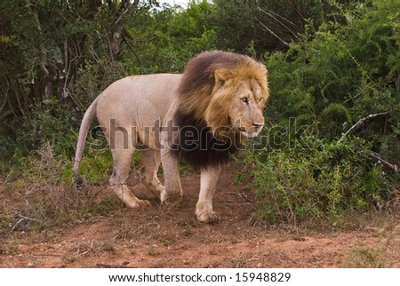 The Lion Leader comes out of the bush