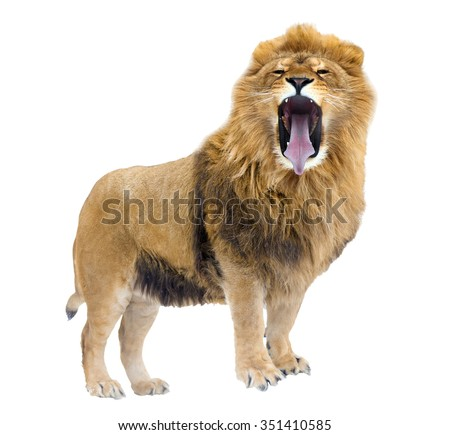 The Lion leader. Growls. isolated - stock photo