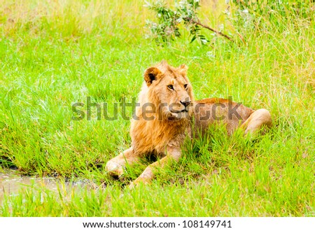 The Lion lies in the grass near the pond, Kenya - stock photo