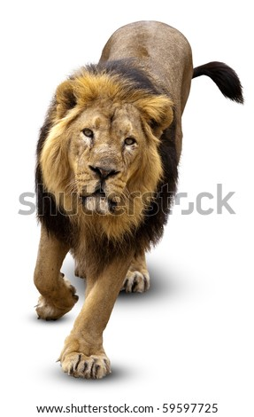 The Lion (Panthera leo)  in front of white background, isolated. - stock photo
