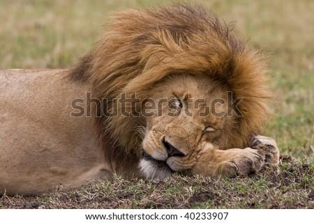 The Lion Sleeps Tonight - stock photo