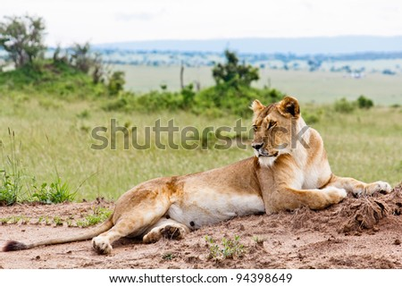 The Lioness from Kenya - stock photo
