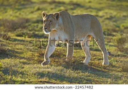The Lioness is totally focused on her supper - stock photo