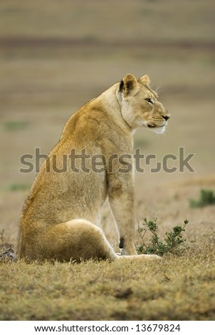 The lioness scans the plains for prey - stock photo