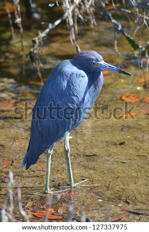 The little blue heron (Egretta caerulea).  It has slate blue feathers and stands about 24 inches tall.  Photo taken at JN Ding Darling National Wildlife Refuge at Sanibel Island, Florida. - stock photo