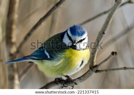The little blue tit with the blue hat - stock photo