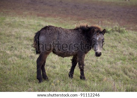 The little brown colt pony grazing in the autumn field - stock photo