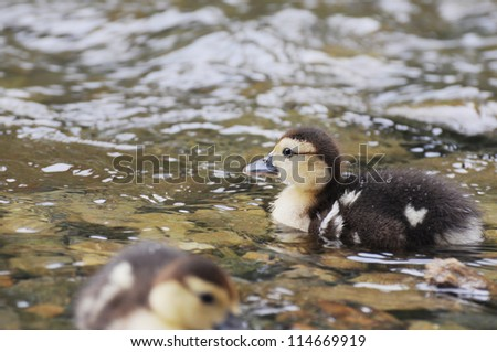 The little brown duckling swimming - stock photo