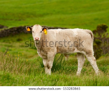 The little calf grazing in the meadow - stock photo