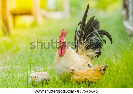 The little colourful chichen in the wide green field, bantam chicken, poultry - stock photo