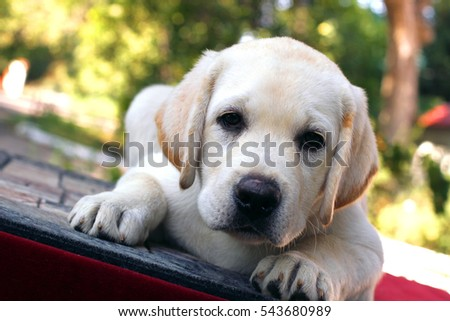 the little cute yellow labrador puppy laying on a red background