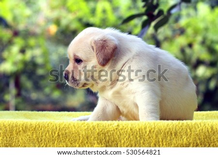 the little cute yellow labrador puppy laying on a yellow background