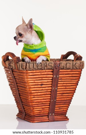 The little dog hops up in her bed, because of a noise. - stock photo