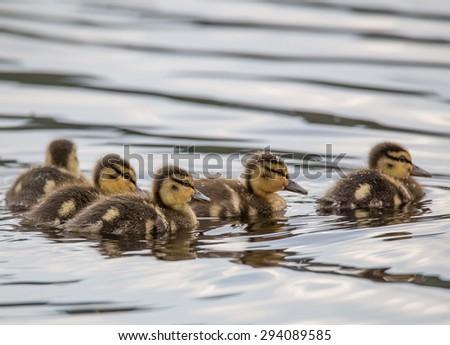 The little ducks on the lake Yushin - stock photo