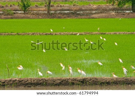 The Little Egret in Cornfield, Middle of Thailand - stock photo