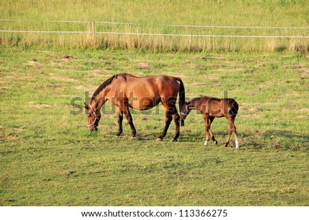 The little Foal with your Mother on the green Pasture - stock photo
