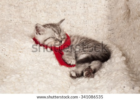 the little gray kitten sleeps in a red scarf