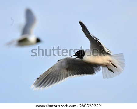 The Little Gull (Larus minutus)  in flight. Little Gull, Hydrocoloeus minutus or Larus minutus, is a small gull which breeds in northern Europe and Asia. - stock photo