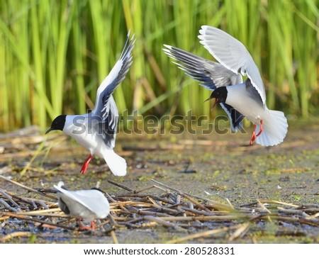 The Little Gull (Larus minutus)  on flying.(Larus ridibundus) - stock photo