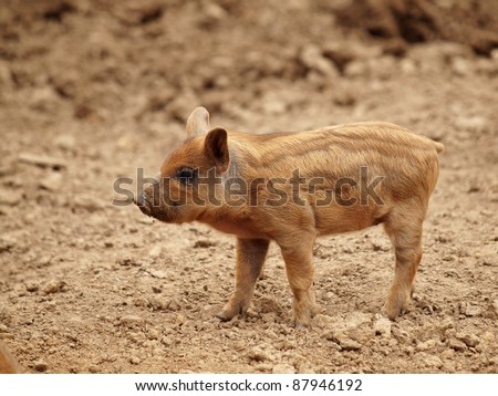 The little pig - stock photo