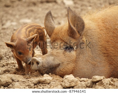 The little pig with mother - stock photo