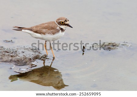 The little ringed plover (Charadrius dubius) is a small plover. - stock photo