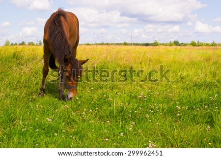 the little stallion grazing in the meadow and eat grass