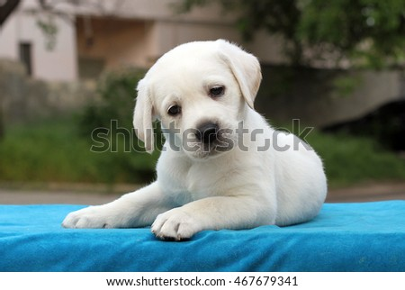 the little yellow labrador puppy sitting on blue background