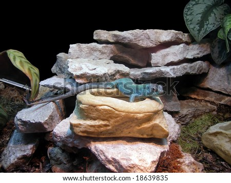 The lizard in a beautiful terrarium - stock photo
