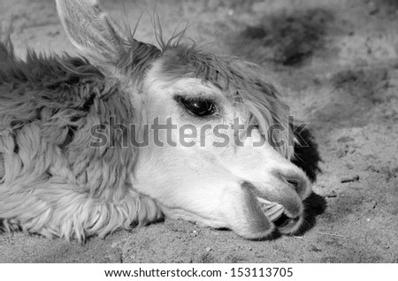 The llama (Lama glama) is a South American camelid, widely used as a meat and pack animal by Andean cultures since pre-Hispanic times. - stock photo