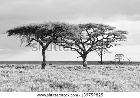 The lofty trees in Crater Ngorongoro National Park - Tanzania (black and white) - stock photo